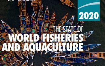 Aumento de 7% en la producción pesquera mundial de debe a la recuperación de la  Anchoveta chilena y peruana
